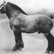 Albion d'Hor Champion 1923.Photo:Société Royale Le Cheval de Trait (...)